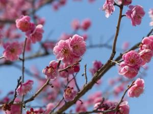 偕楽園 梅 桜