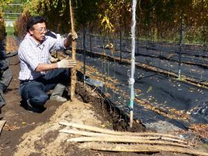 自然薯収穫