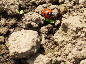 自然薯畑のテントウムシ