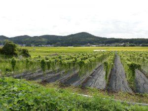 2016年の自然薯畑