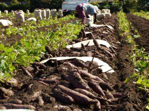 干し芋 収穫